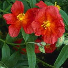 Helianthemum 'Fire Dragon' | Napvirág