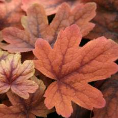 Heucherella  'Sweet Tea' | Turbáncső