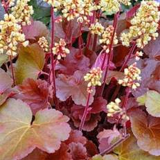 Heuchera 'Blondie' | Tűzeső